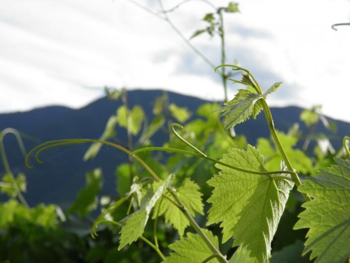 Weinreben in Dorf Tirol - Ferienwohnung Linter bei Meran